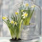Narcis 'Topolino'